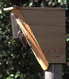 Flicker using Native America nestbox with shield