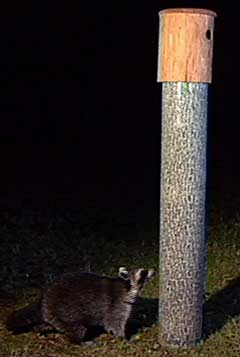 Raccoon being twarted by Tree Mirage